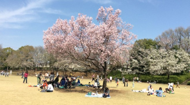 Sakura in the Park