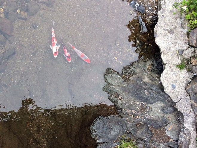 Koi swimming free in a stream near the train station