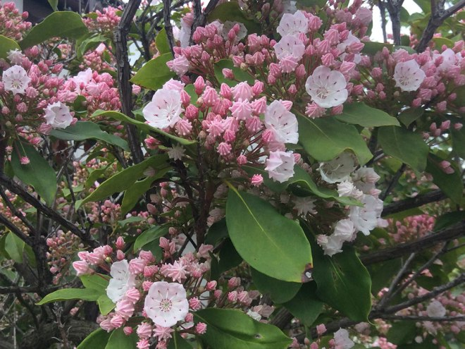 Mountain laurel is native to the eastern United States, but it found its way to Japan