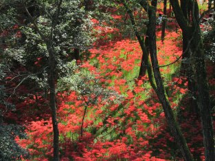 Red spider lilies at Kinchakuda-Manjushage Park in Hidaka City