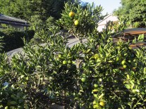 A mikan (mandarin oranges) tree is getting ready to produce its winter harvest. All of the mikans were still green.