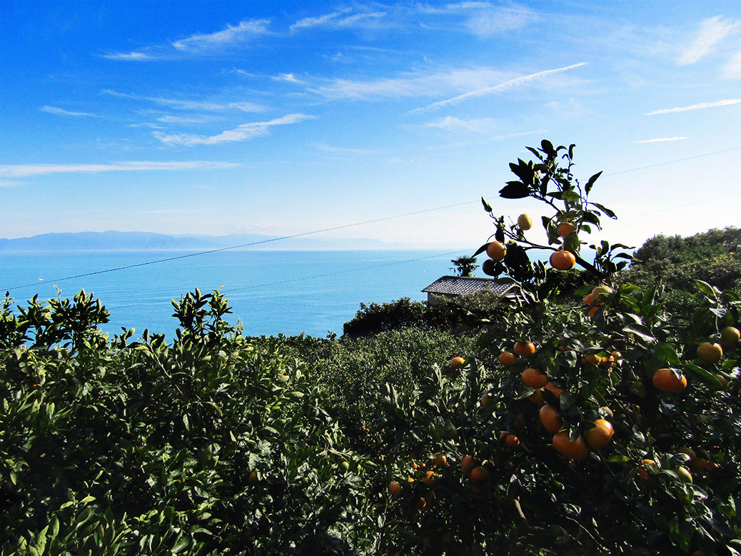 Looking over the orange orchards at Suruga Bay