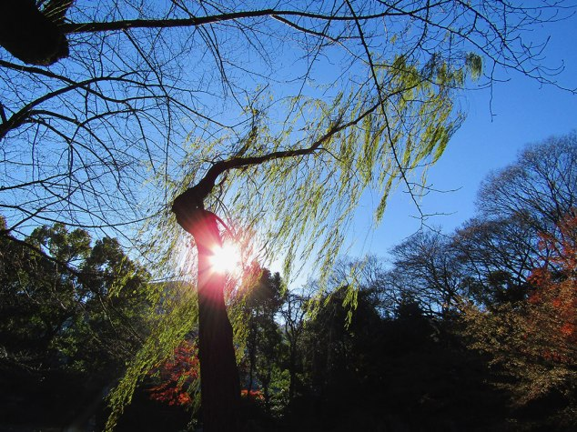 The sun shining through the willow trees in Yasukuni's Shinchi Teien garden