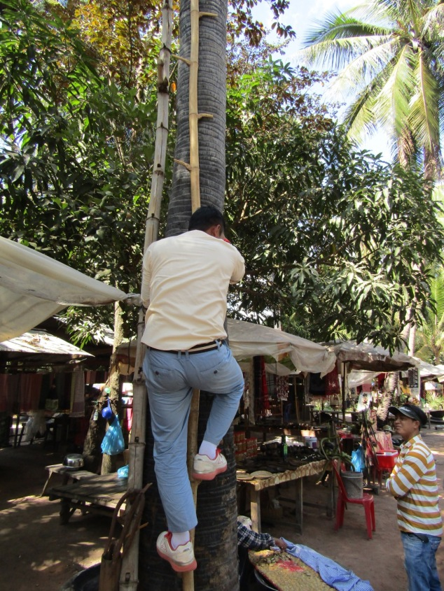 Our guide Chatra climbs a makeshift ladder attached to a palm tree to show how the locals harvest the coconuts.