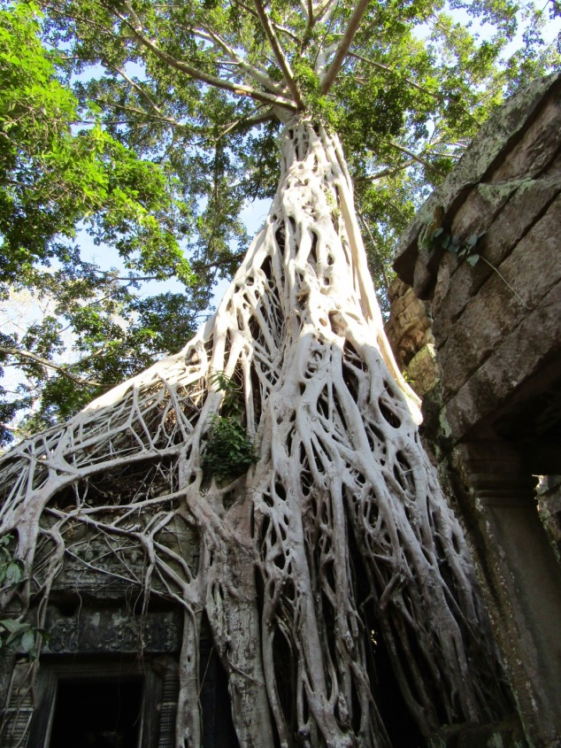 The massive Spung trees enveloping the temples at Ta Prohm have been left intact despite major renovation efforts lead by India since 2013.