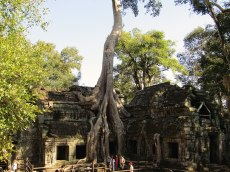 "The famous ""Tomb Raider Tree"" at Ta Prohm. Many structures in the temple have been swallowed by the large Spung trees."