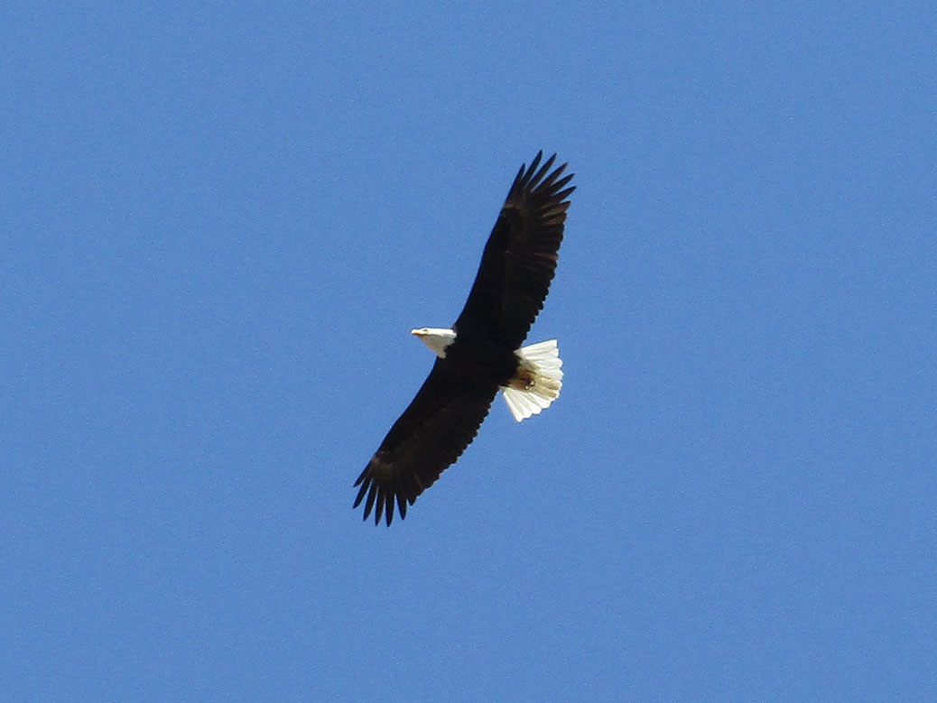 Bald Eagle Flying Over Smith Rock