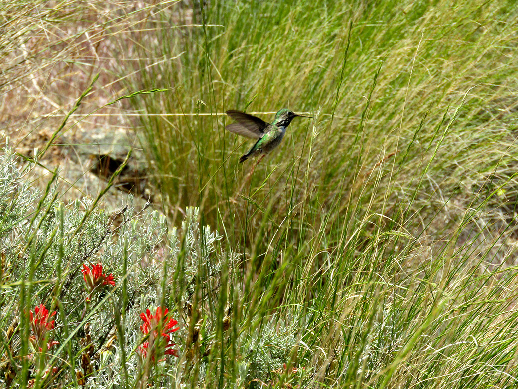 Hummingbird at Smith Rock