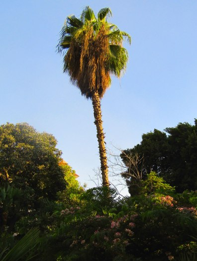 A palm and greenery in my neighborhood.